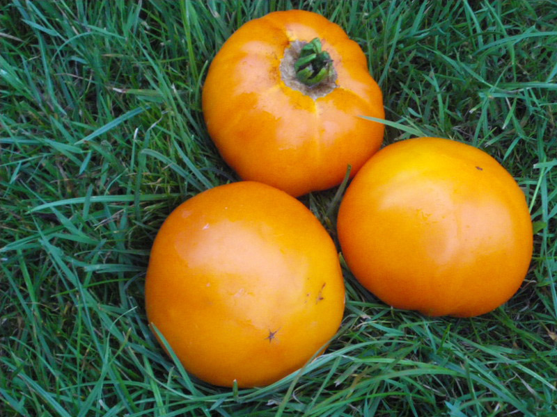 graines tomate Yellow Giant Belgium
