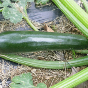 Graines de Courgette Black beauty