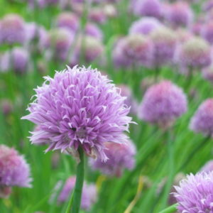 graines ciboulette allium