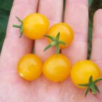graines de tomate groseille Yellow Currant