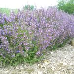 graines sauge officinale salvia officinalis