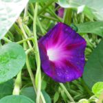graines ipomoea knowlian's black