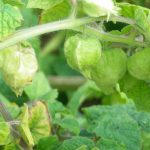 graines physalis pruinosa goldie