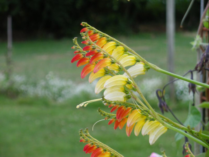 Graines de Mina lobata exotic love