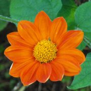 graines tithonia rotundifolia torch