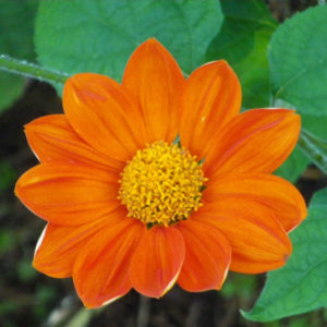 Tithonia rotundifolia 'Torch' BIO