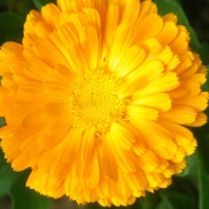 graines soucis calendula officinalis orange king