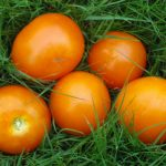 graines tomate moonglow solanum lycopersicum