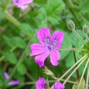 Graines d' erodium-manescavii