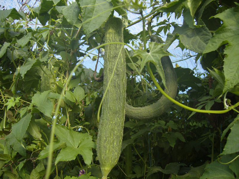 Graines de Luffa SP Extra long