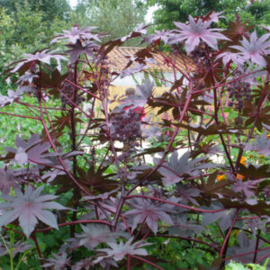Ricinus New Zealand Purple BIO