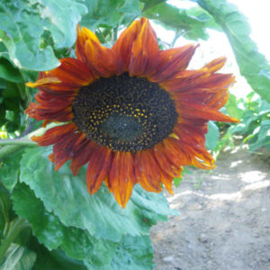 Tournesol Red Sun