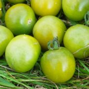 graines de Tomate Green Doctor's Frosted