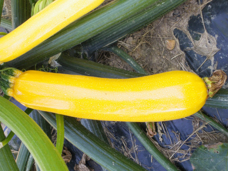 Graines de Courgette Gold Rush