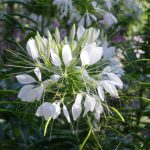 graines cleome spinosa helen campbell