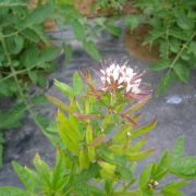 graines cleome marshalii white spider polanisia