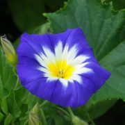 graines convolvulus royal ensign