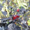 graines de piment Black Pearl