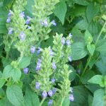 graines de salvia hispanica chia