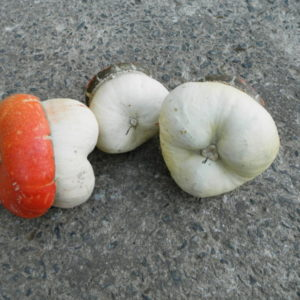 Courge Pilz Turban BIO